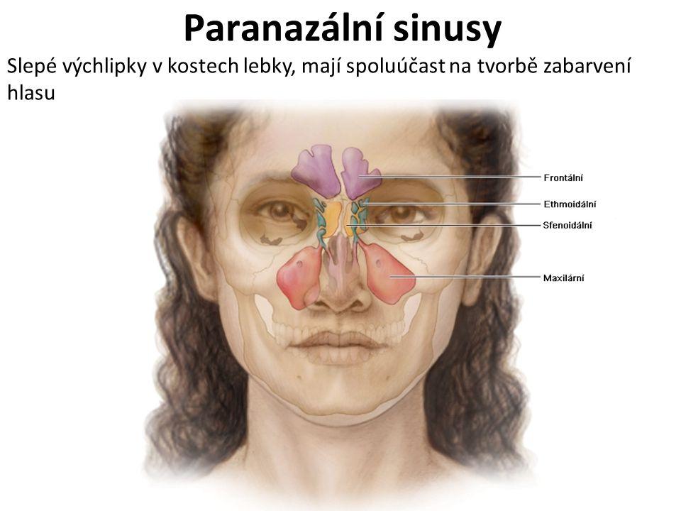 Paranazální sinusy Slepé výchlipky v kostech lebky, mají spoluúčast na tvorbě zabarvení hlasu