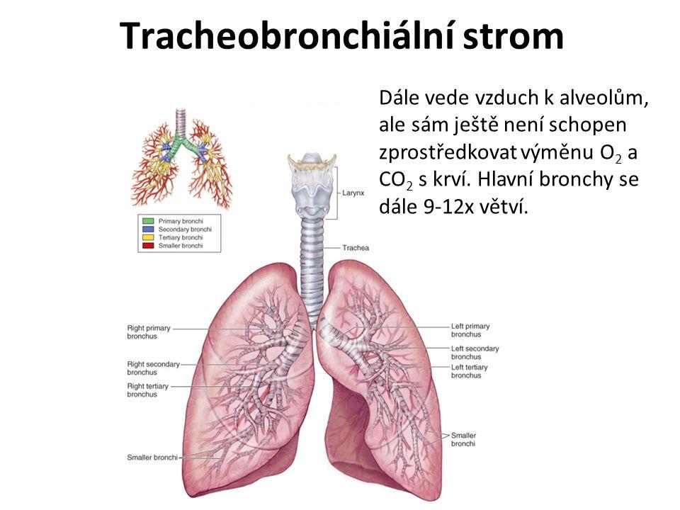 Tracheobronchiální strom Dále vede vzduch k alveolům, ale sám ještě není schopen zprostředkovat výměnu O 2 a CO 2 s krví. Hlavní bronchy se dále 9-12x