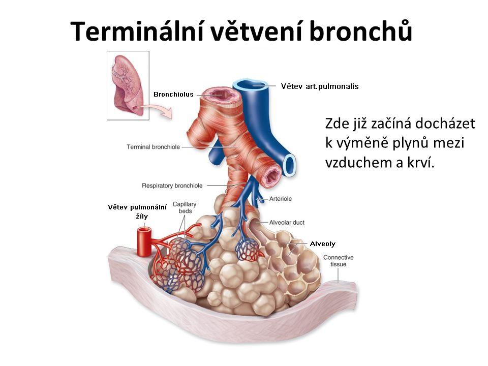 Terminální větvení bronchů Zde již začíná docházet k výměně plynů mezi vzduchem a krví.