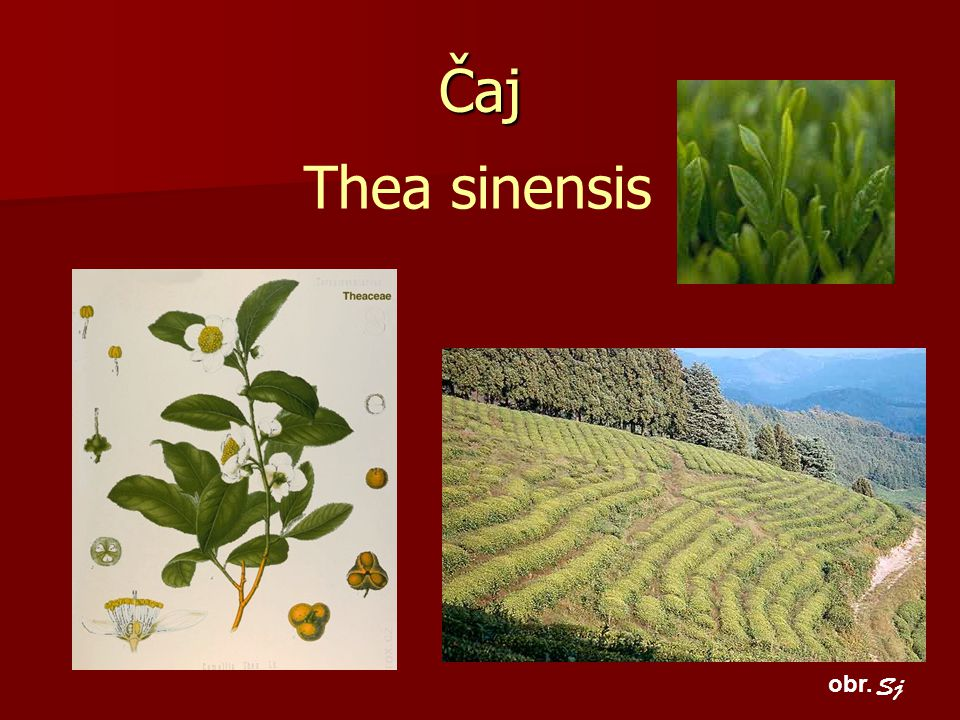 Čaj Thea sinensis obr. Sj