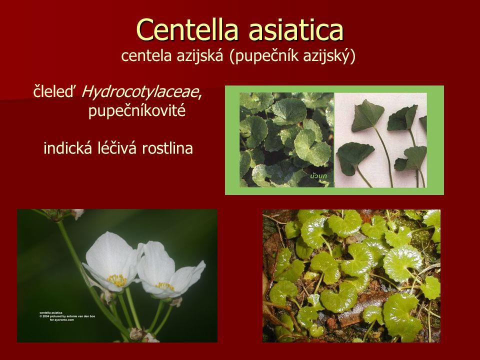 centela azijská (pupečník azijský) Centella asiatica čleleď Hydrocotylaceae, pupečníkovité indická léčivá rostlina