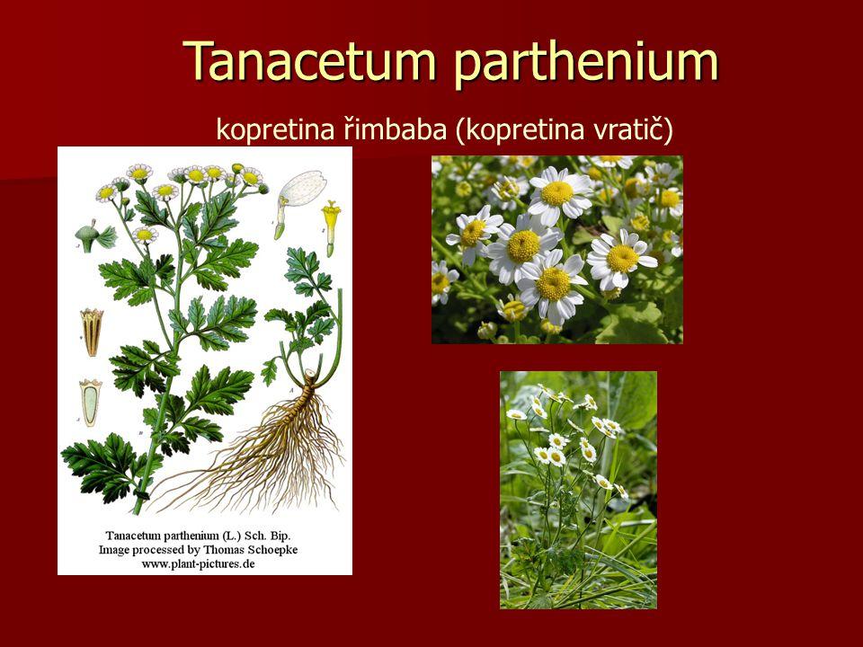 kopretina řimbaba (kopretina vratič) Tanacetum parthenium