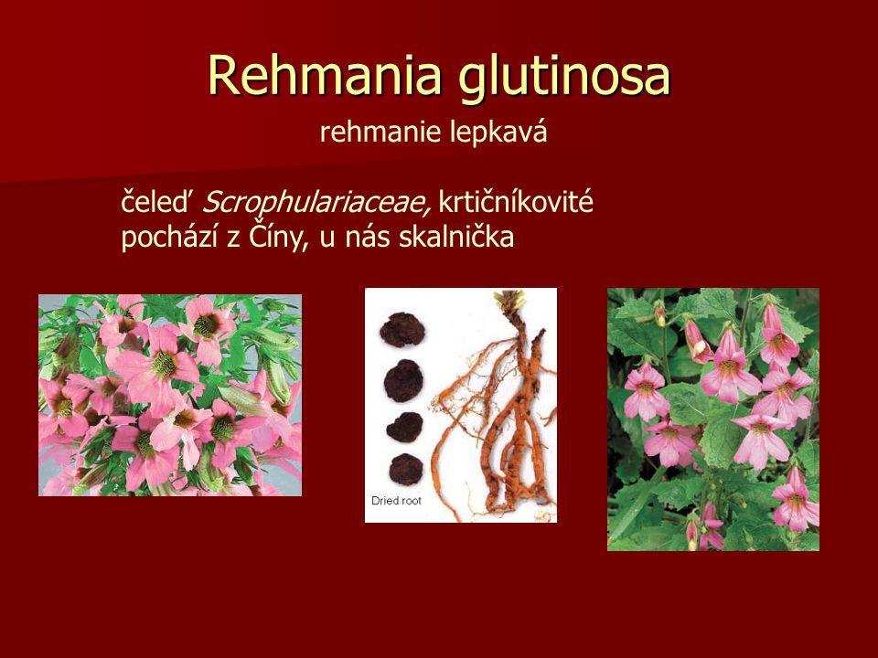 Rehmania glutinosa rehmanie lepkavá čeleď Scrophulariaceae, krtičníkovité pochází z Číny, u nás skalnička