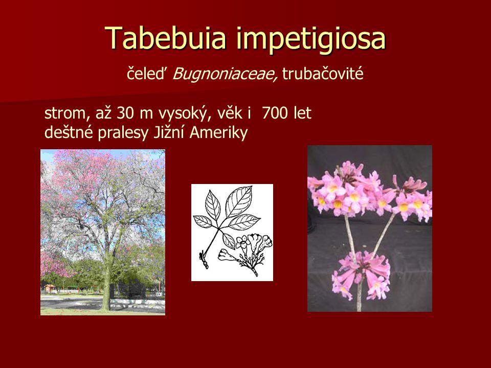 Tabebuia impetigiosa čeleď Bugnoniaceae, trubačovité strom, až 30 m vysoký, věk i 700 let deštné pralesy Jižní Ameriky