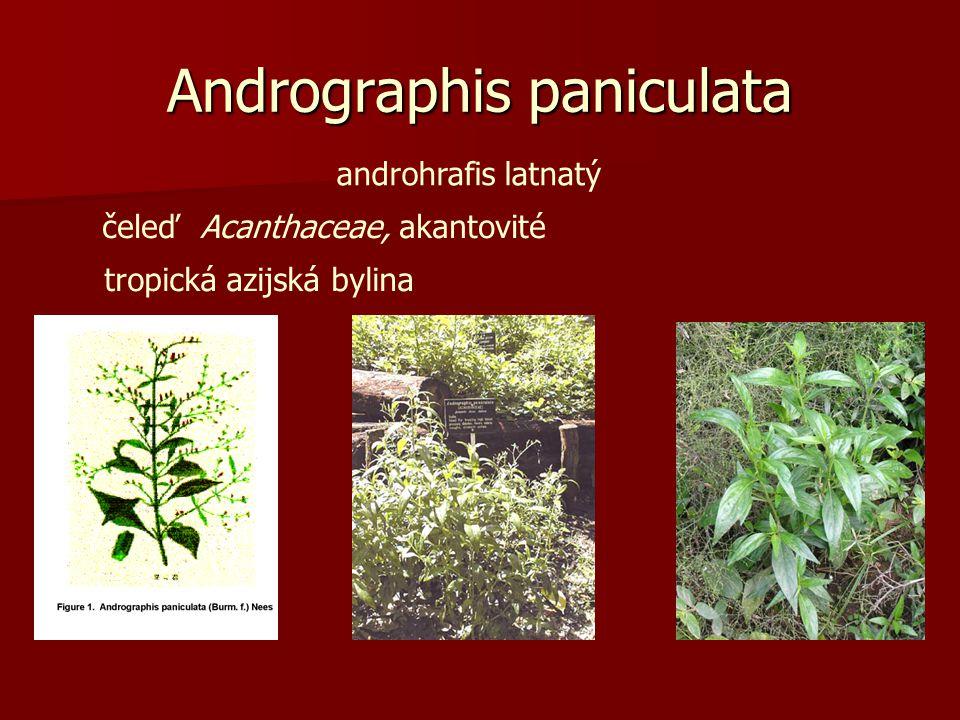 Andrographis paniculata androhrafis latnatý čeleď Acanthaceae, akantovité tropická azijská bylina