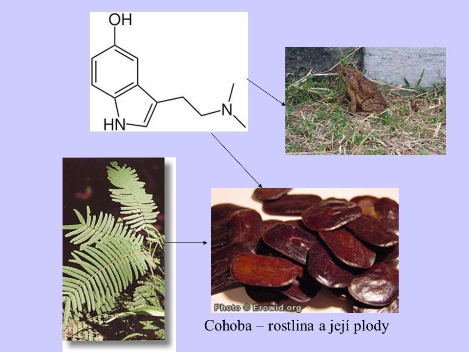 Cohoba – rostlina a její plody