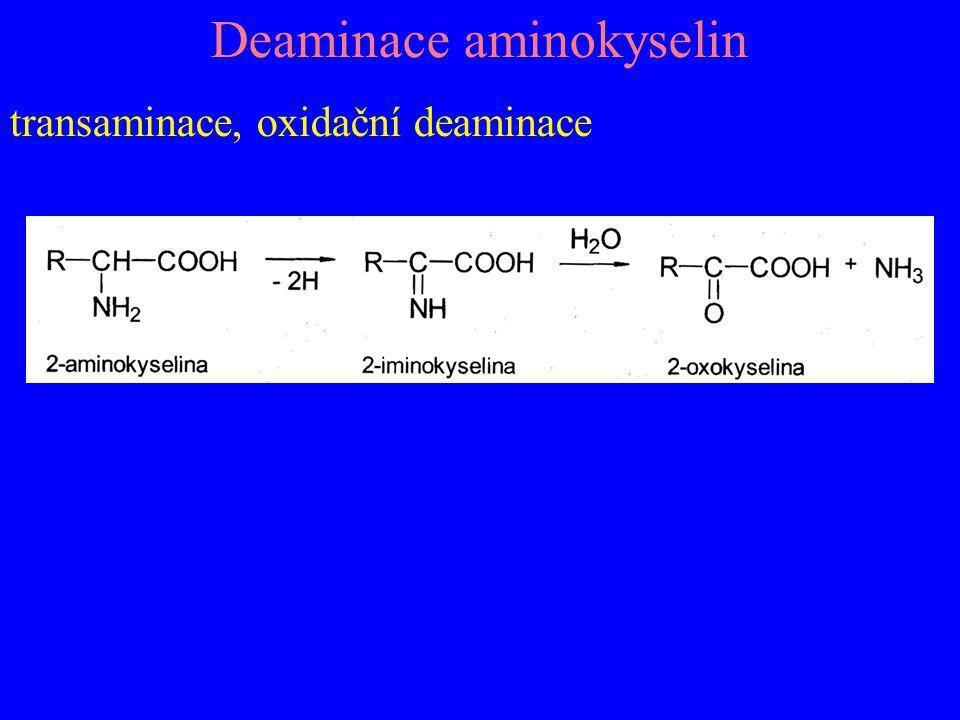 Deaminace aminokyselin transaminace, oxidační deaminace