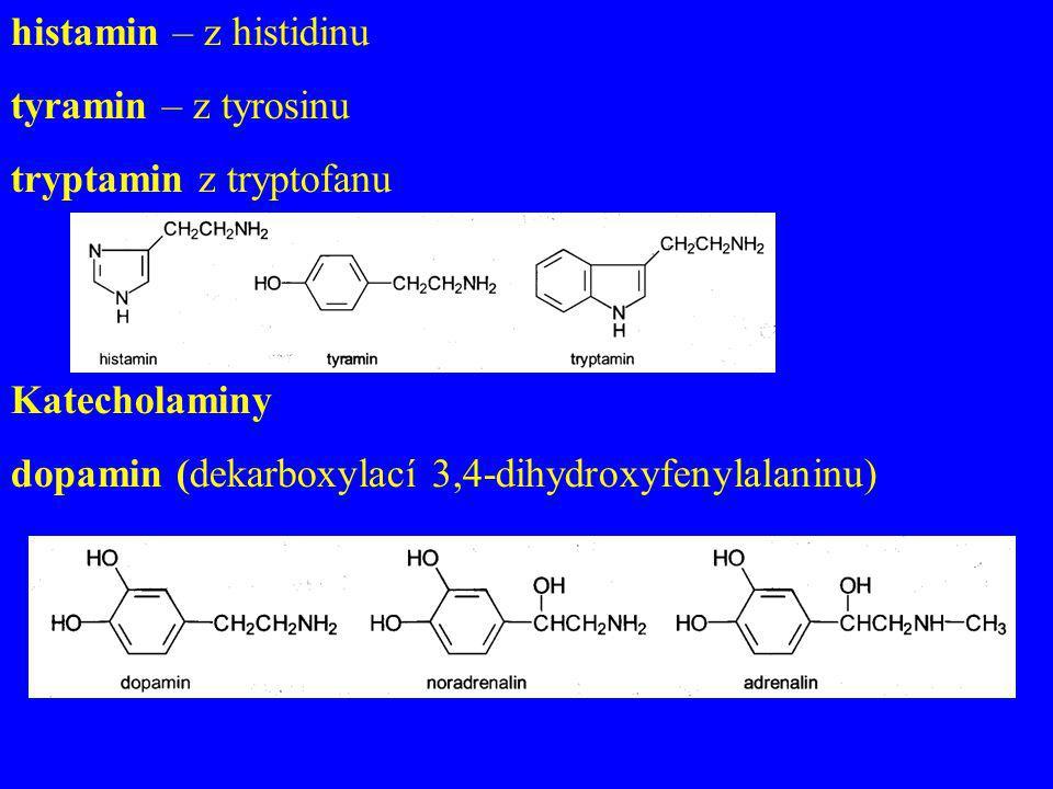 histamin – z histidinu tyramin – z tyrosinu tryptamin z tryptofanu Katecholaminy dopamin (dekarboxylací 3,4-dihydroxyfenylalaninu)