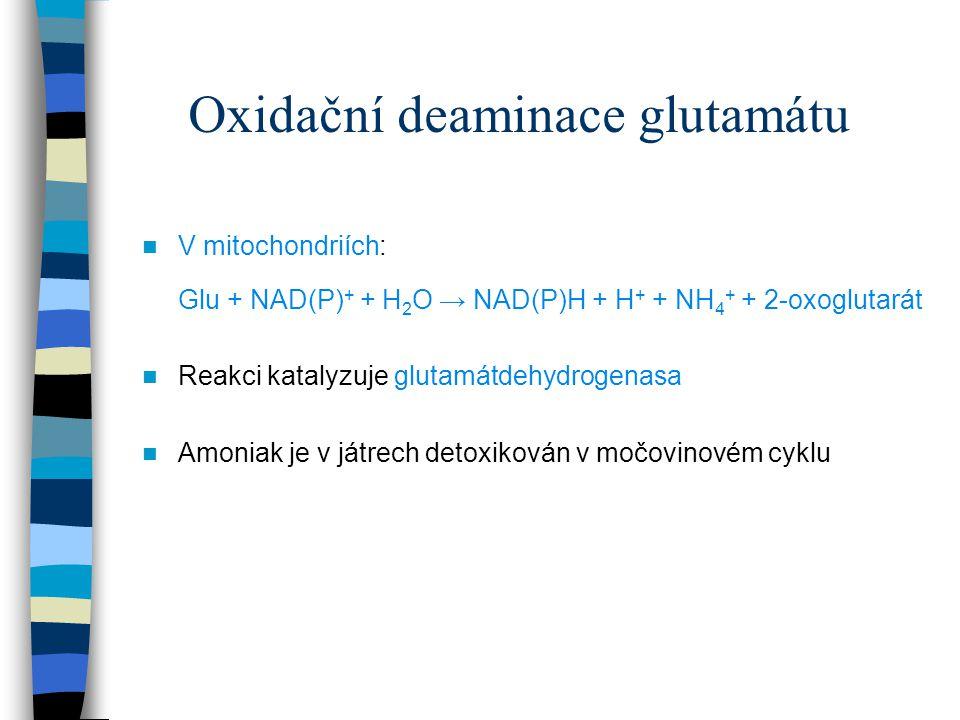 Oxidační deaminace glutamátu V mitochondriích: Glu + NAD(P) + + H 2 O → NAD(P)H + H + + NH 4 + + 2-oxoglutarát Reakci katalyzuje glutamátdehydrogenasa