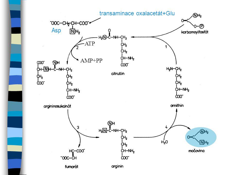 Asp ATP AMP+PP transaminace oxalacetát+Glu