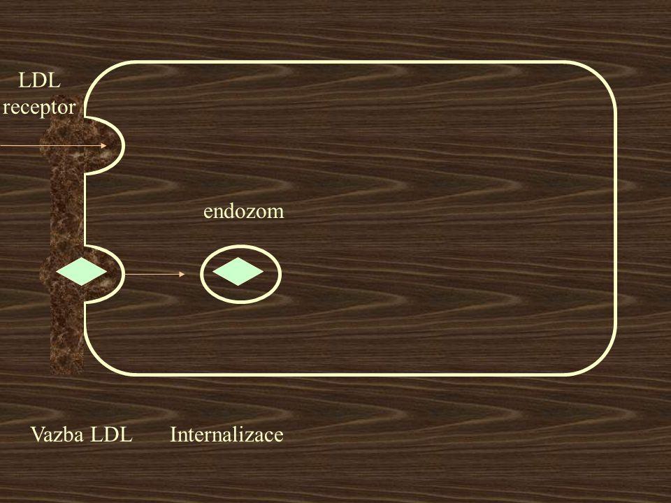 LDL receptor Vazba LDLInternalizace endozom