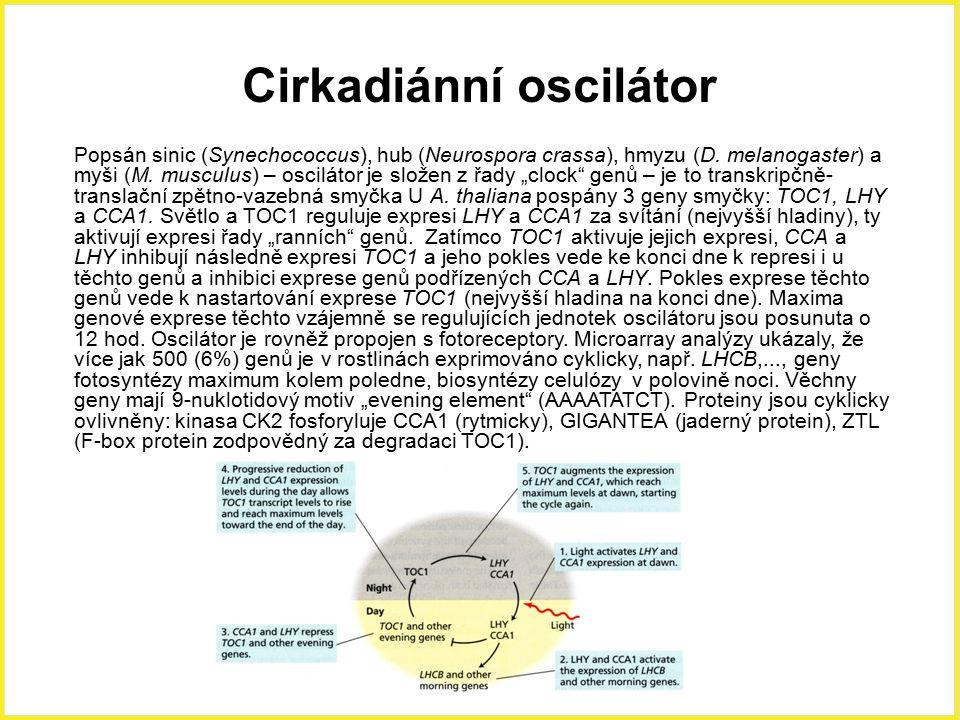 Cirkadiánní rytmy Spánkové pohyby listů (nyktinastie) – fazol, mimóza, stromy Samanea a Albizia; funguje i u uříznutých listů ve tmě v roztoku sacharosy, dáno rytmickými změnami turgoru v pulvině, listy se začínají zavírat po 5 min ve tmě (30 min), regulováno R- FR (fytochromy), vstupem K + a Cl - z dorzálních do ventrálních motorických buněk a zpět, podobně jako u svěracích buněk), v buňkách pulvinu, na jedné straně extensorové buňky (zvětšují se ve dne, list jde nahoru), na druhé flexorové (pokles listu, zvětšení v noci), mění se rovněž pH -  v apoplastu dorzálních buněk a  v apoplastu ventrálních buněk (protonové pumpy) Spánkové pohyby Mimosy