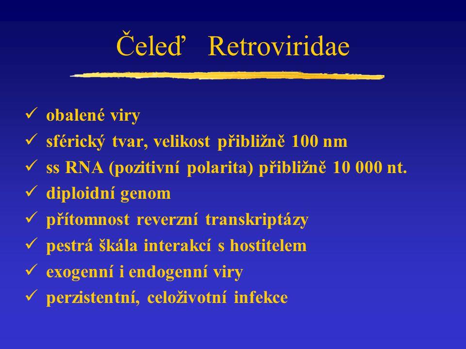 Čeleď Retroviridae obalené viry sférický tvar, velikost přibližně 100 nm ss RNA (pozitivní polarita) přibližně 10 000 nt. diploidní genom přítomnost r