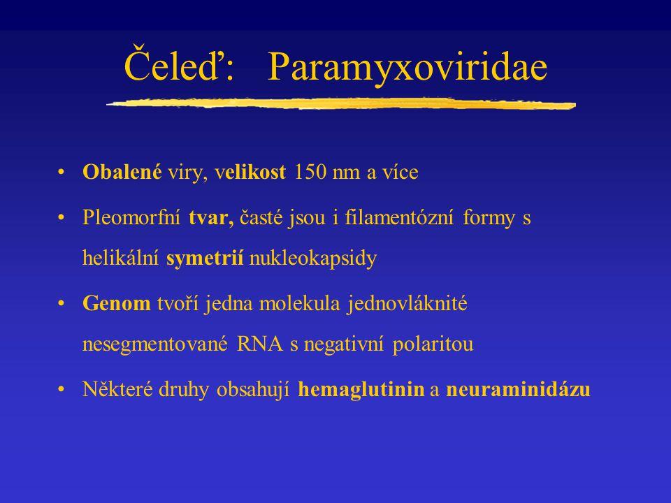 Čeleď: Paramyxoviridae Obalené viry, velikost 150 nm a více Pleomorfní tvar, časté jsou i filamentózní formy s helikální symetrií nukleokapsidy Genom