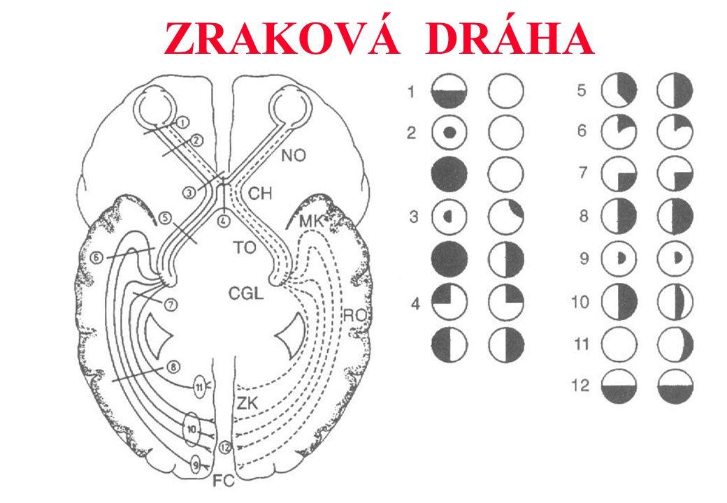 1.SÍTNICE 2. ZRAKOVÝ NERV – papila, chiasma 3. CORPUS GENICULATUM LAT.