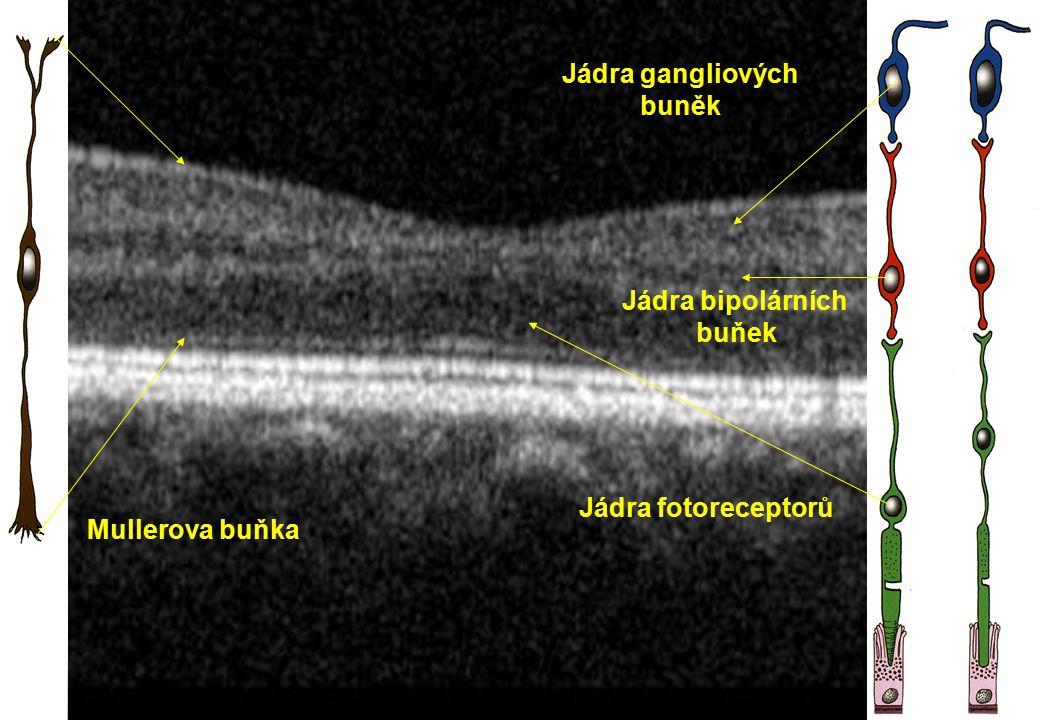 Mullerova buňka Jádra fotoreceptorů Jádra gangliových buněk Jádra bipolárních buňek