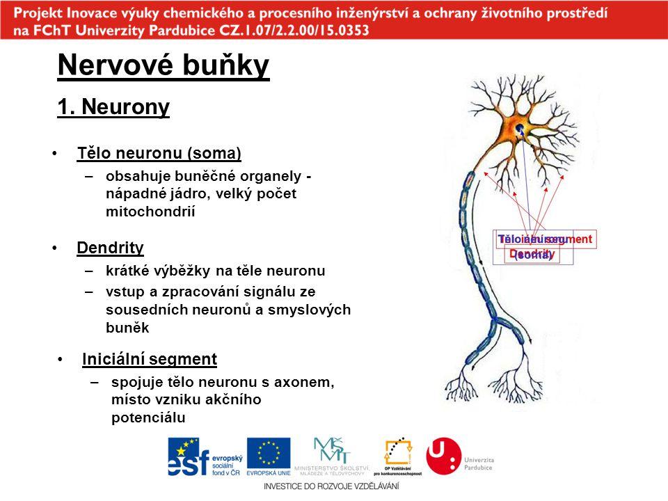 1. Neurony Nervové buňky Dendrity –krátké výběžky na těle neuronu –vstup a zpracování signálu ze sousedních neuronů a smyslových buněk Tělo neuronu (s