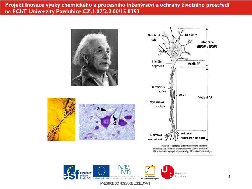 5 Astrocyty –velké buňky přítomné pouze v CNS –spoluvytváří hematoencefalickou bariéru Nervové buňky 2.