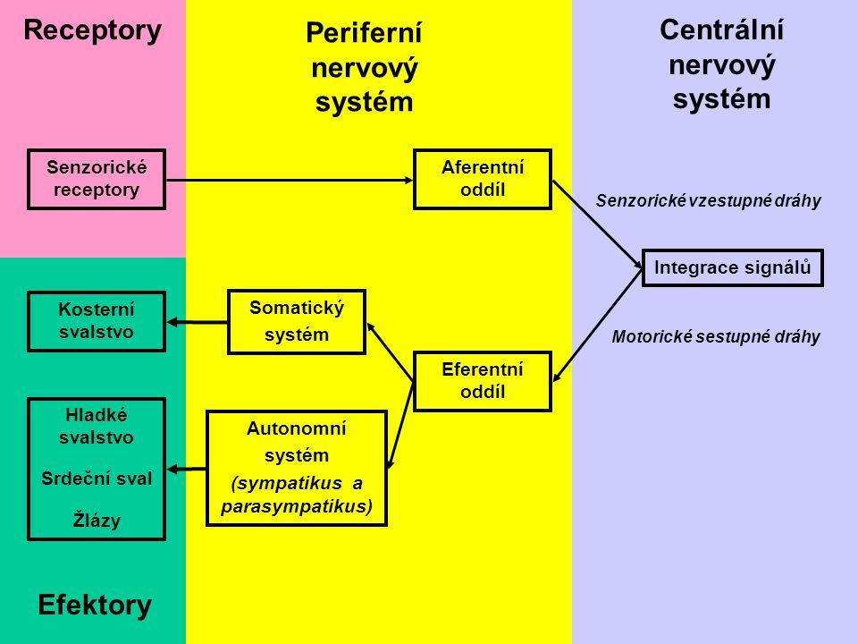 51 Senzorické receptory Receptory Periferní nervový systém Aferentní oddíl Efektory Kosterní svalstvo Hladké svalstvo Srdeční sval Žlázy Eferentní odd