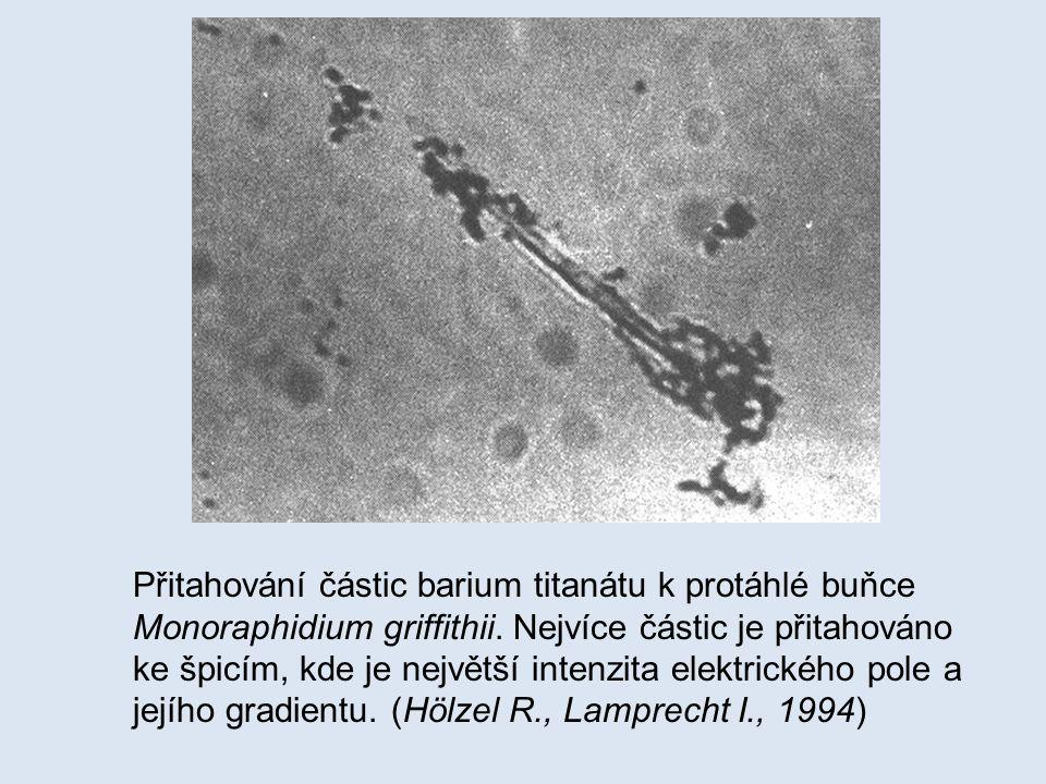 Přitahování částic barium titanátu k protáhlé buňce Monoraphidium griffithii. Nejvíce částic je přitahováno ke špicím, kde je největší intenzita elekt