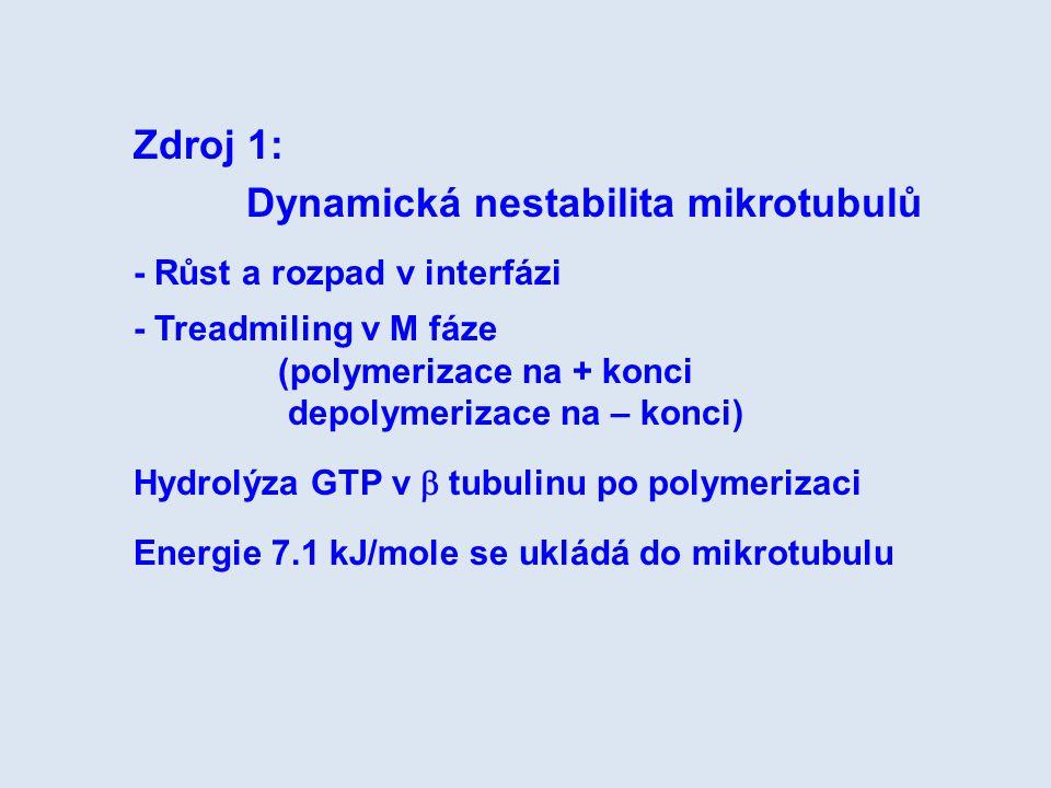 Zdroj 1: Dynamická nestabilita mikrotubulů - Růst a rozpad v interfázi - Treadmiling v M fáze (polymerizace na + konci depolymerizace na – konci) Hydr
