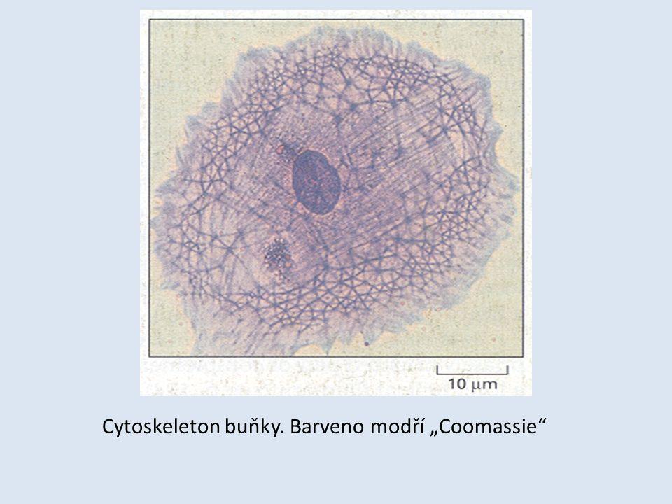 """Cytoskeleton buňky. Barveno modří """"Coomassie"""""""