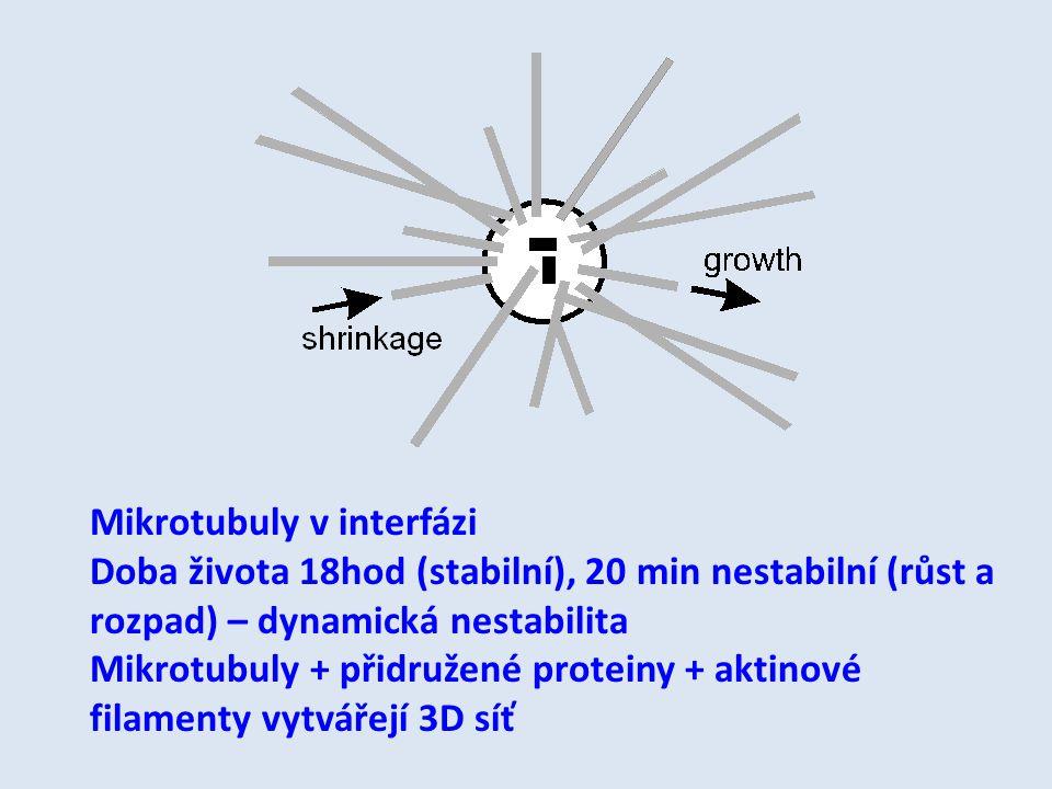 Mikrotubuly v interfázi Doba života 18hod (stabilní), 20 min nestabilní (růst a rozpad) – dynamická nestabilita Mikrotubuly + přidružené proteiny + ak