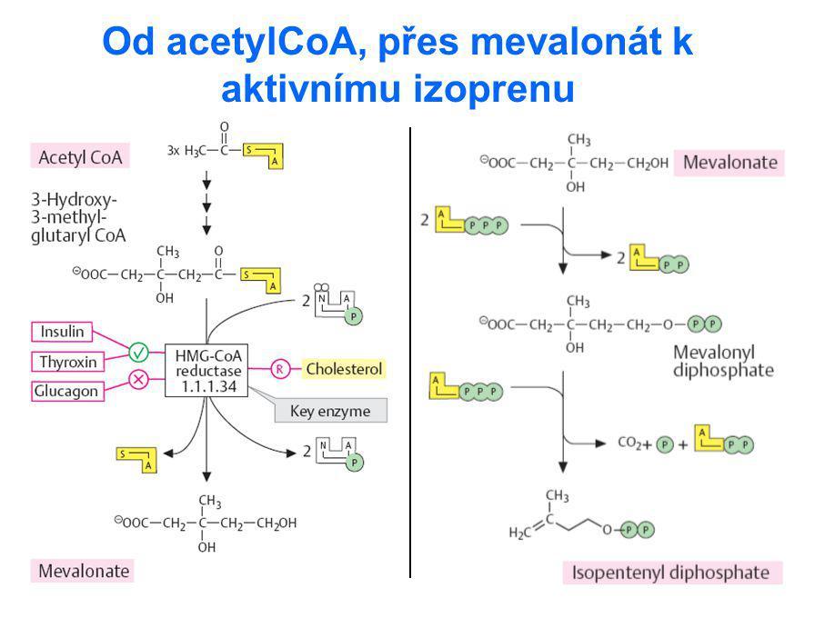 Od acetylCoA, přes mevalonát k aktivnímu izoprenu
