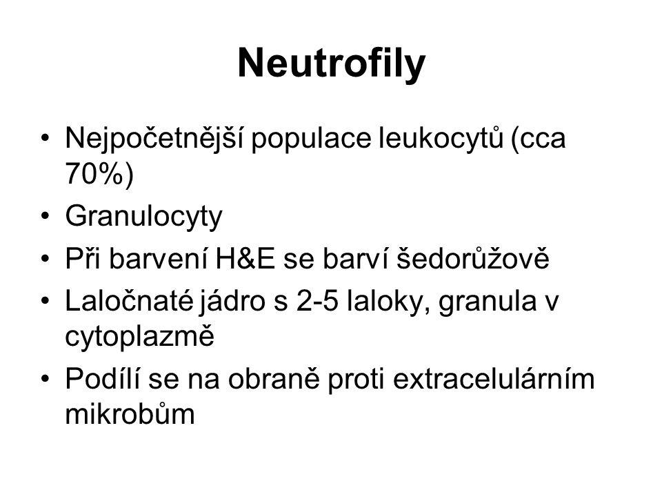 Neutrofily Nejpočetnější populace leukocytů (cca 70%) Granulocyty Při barvení H&E se barví šedorůžově Laločnaté jádro s 2-5 laloky, granula v cytoplaz