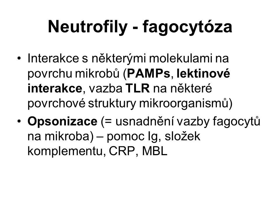 Neutrofily - fagocytóza Interakce s některými molekulami na povrchu mikrobů (PAMPs, lektinové interakce, vazba TLR na některé povrchové struktury mikr