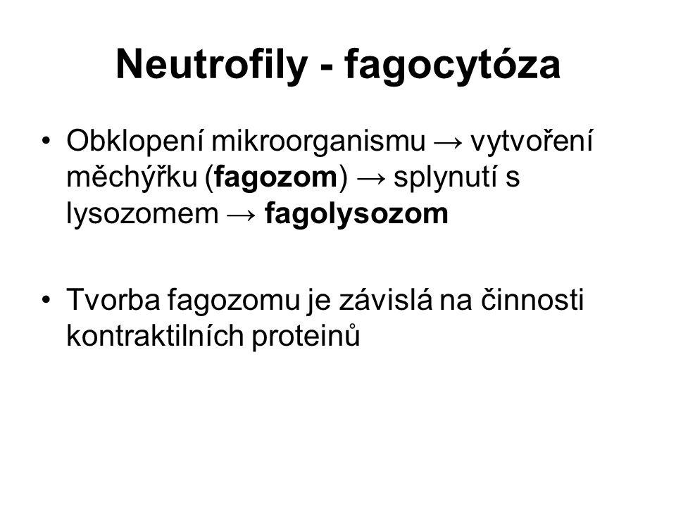 Neutrofily - fagocytóza Obklopení mikroorganismu → vytvoření měchýřku (fagozom) → splynutí s lysozomem → fagolysozom Tvorba fagozomu je závislá na čin