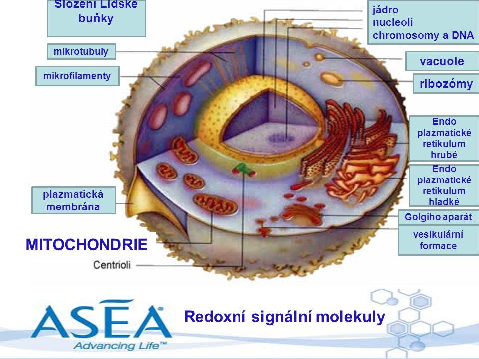 Redoxní signální molekuly MITOCHONDRIE Složení Lidské buňky mikrotubuly mikrofilamenty plazmatická membrána jádro nucleoli chromosomy a DNA vacuole ri