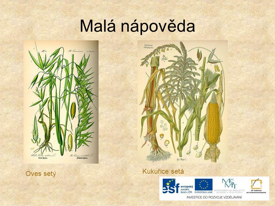 Už víme… o Mezi obilniny patří: pšenice setá žito seté ječmen obecný oves setý kukuřice setá