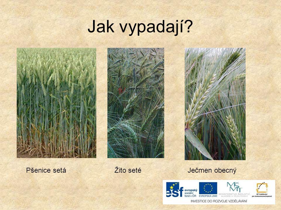 Jak vypadají? Pšenice setáŽito setéJečmen obecný