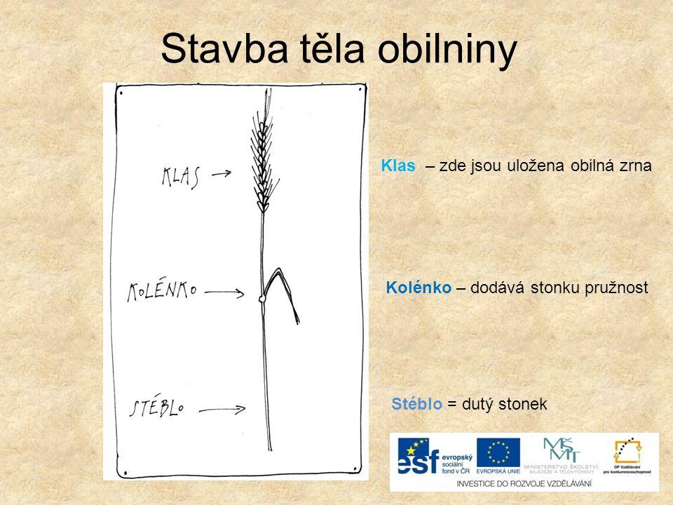 Stavba těla obilniny Stéblo = dutý stonek Kolénko – dodává stonku pružnost Klas – zde jsou uložena obilná zrna