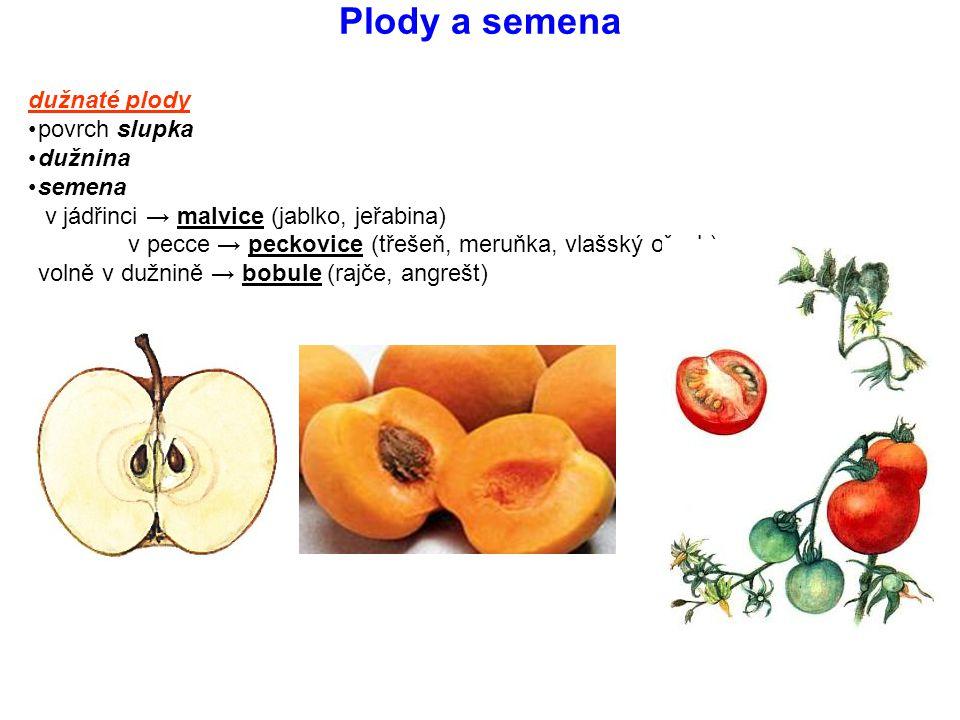 Plody a semena dužnaté plody povrch slupka dužnina semena v jádřinci → malvice (jablko, jeřabina) v pecce → peckovice (třešeň, meruňka, vlašský ořech)