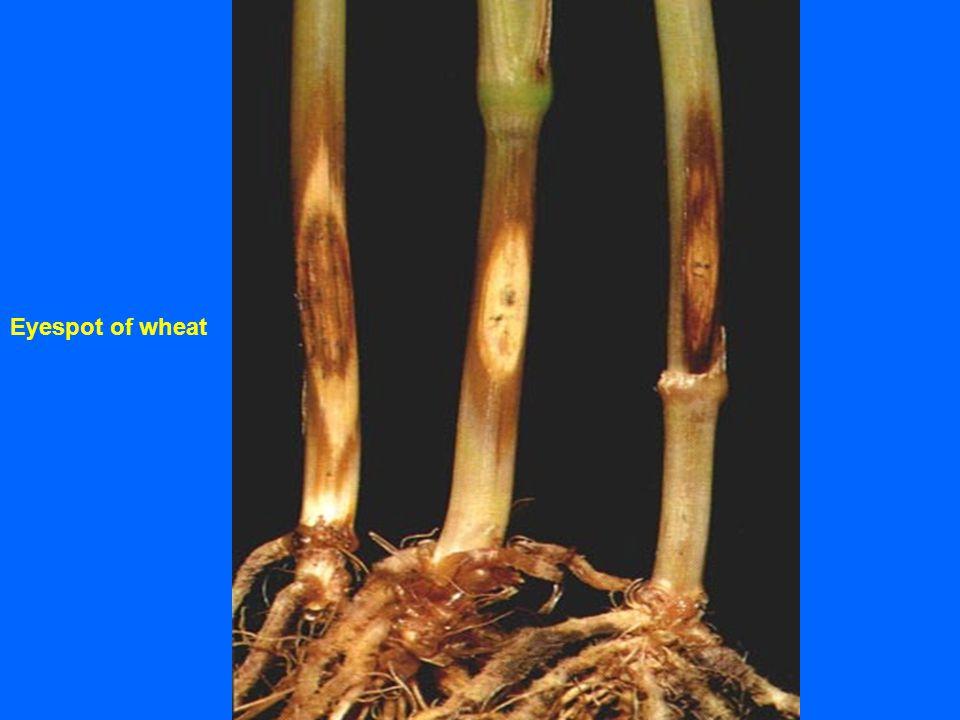 Eyespot of wheat