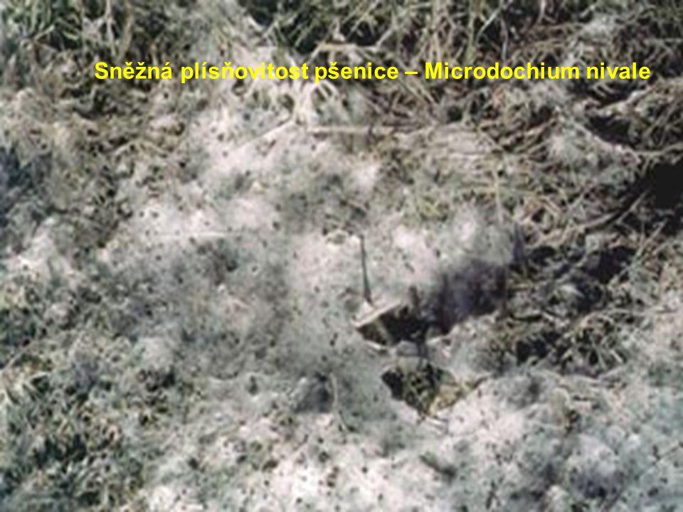 Sněžná plísňovitost pšenice – Microdochium nivale