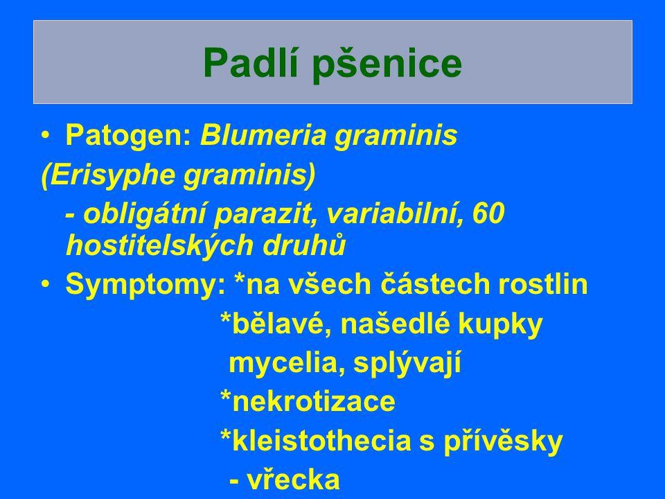 Patogen: Blumeria graminis (Erisyphe graminis) - obligátní parazit, variabilní, 60 hostitelských druhů Symptomy: *na všech částech rostlin *bělavé, na