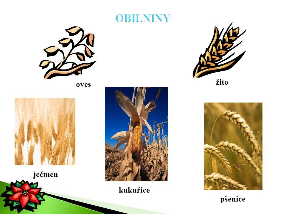 žito ječmen kukuřice pšenice oves