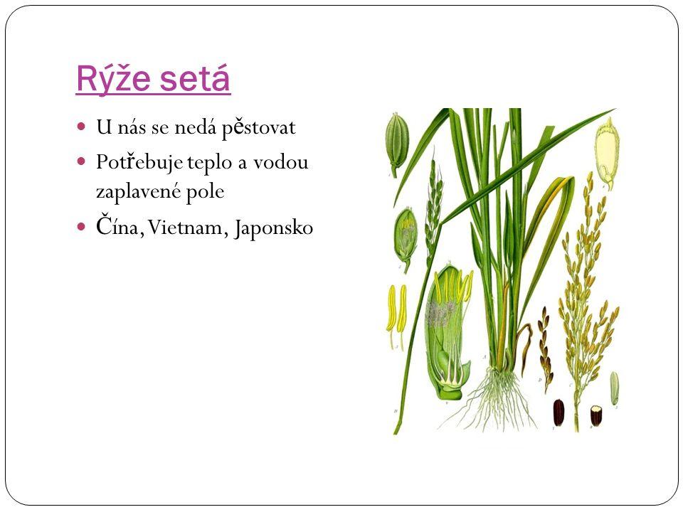 Proso seté Prosná zrna se nazývají jáhly ( d ř íve č astá potravina)