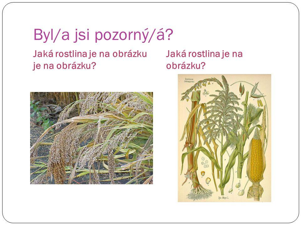 Byl/a jsi pozorný/á? Jaká rostlina je na obrázku?