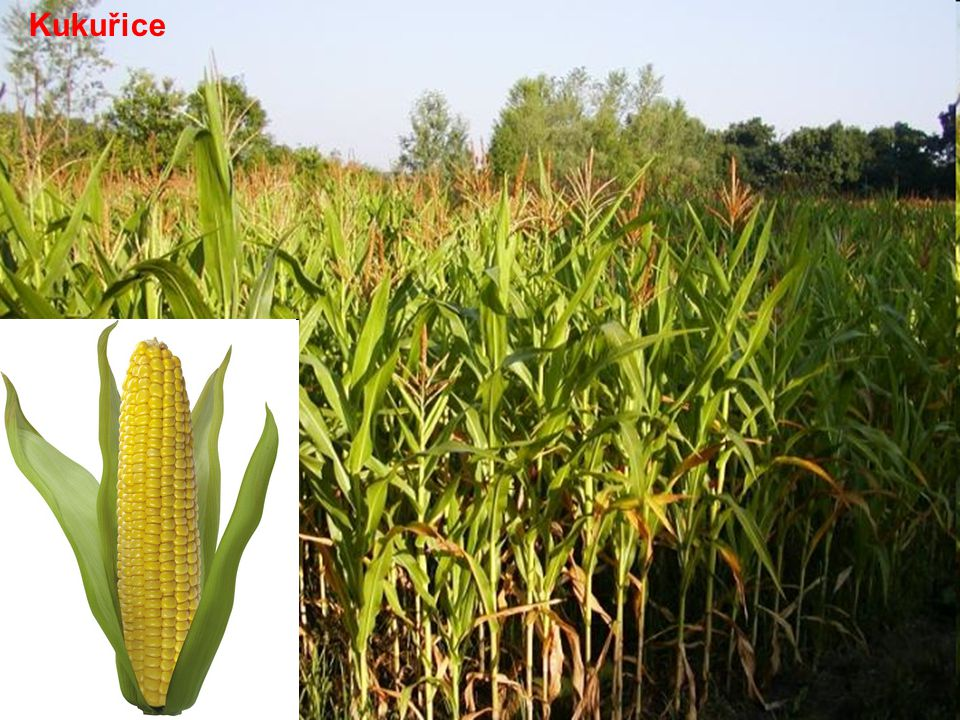 Na poli Obiloviny: pšenice, žito, ječmen, oves Období sklizně obilovin se jmenuje žně.