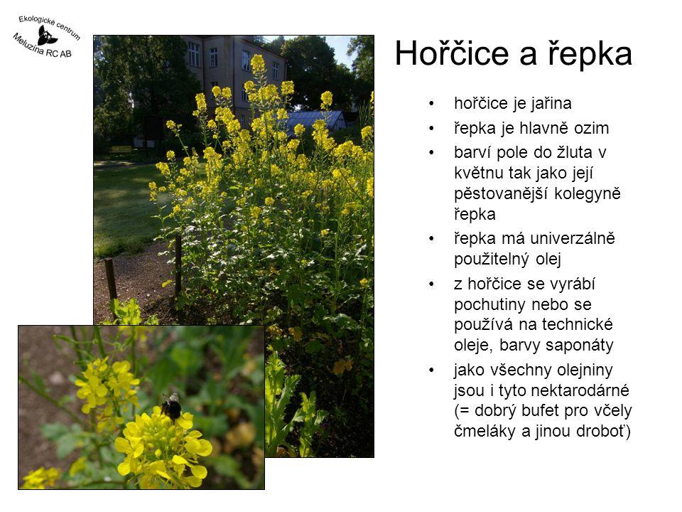 Hořčice a řepka hořčice je jařina řepka je hlavně ozim barví pole do žluta v květnu tak jako její pěstovanější kolegyně řepka řepka má univerzálně pou