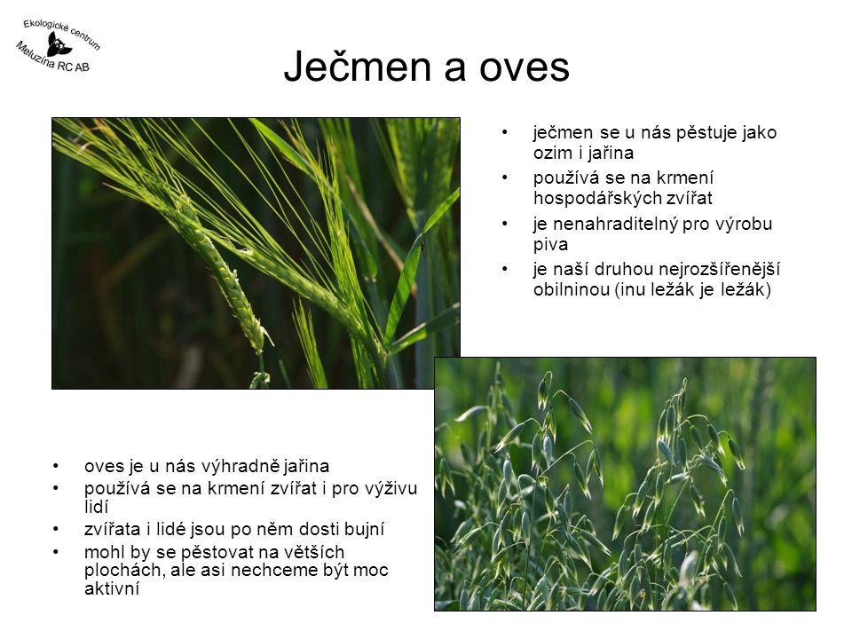 Ječmen a oves ječmen se u nás pěstuje jako ozim i jařina používá se na krmení hospodářských zvířat je nenahraditelný pro výrobu piva je naší druhou ne
