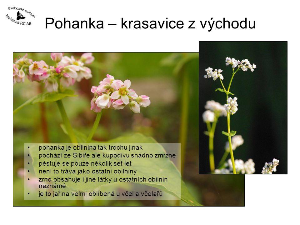 Pohanka – krasavice z východu pohanka je obilnina tak trochu jinak pochází ze Sibiře ale kupodivu snadno zmrzne pěstuje se pouze několik set let není