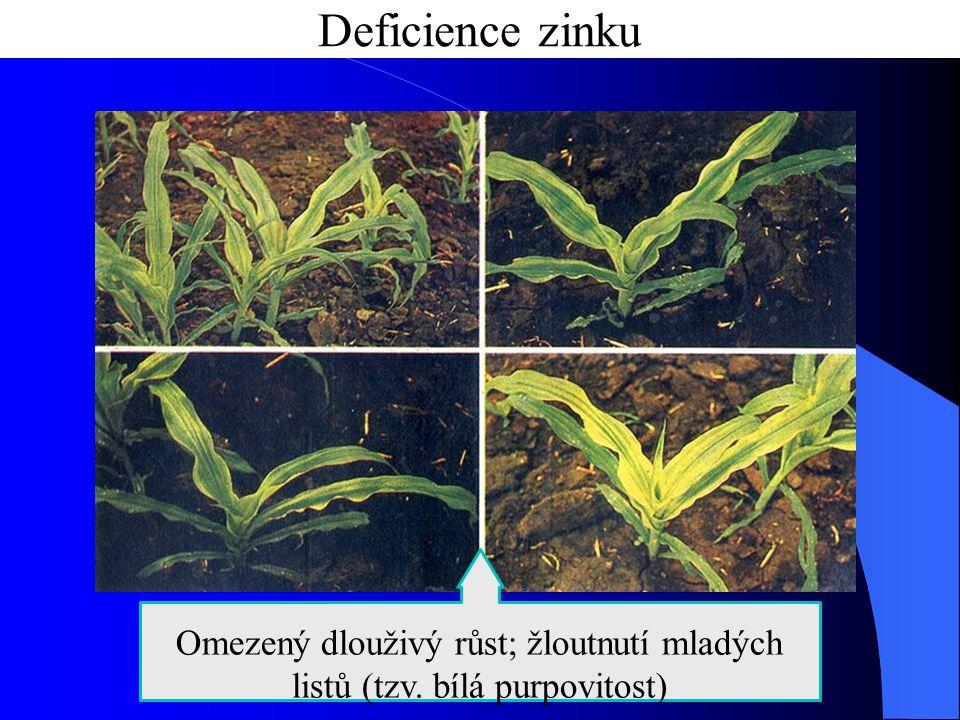 Deficience zinku Omezený dlouživý růst; žloutnutí mladých listů (tzv. bílá purpovitost)
