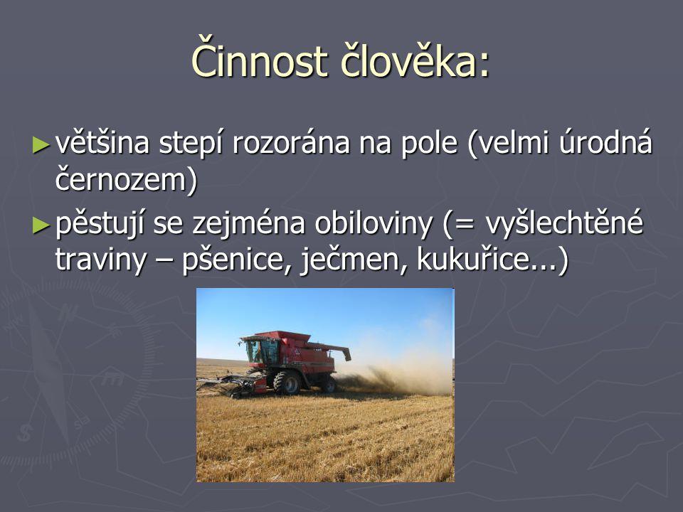 Činnost člověka: ► většina stepí rozorána na pole (velmi úrodná černozem) ► pěstují se zejména obiloviny (= vyšlechtěné traviny – pšenice, ječmen, kukuřice...)