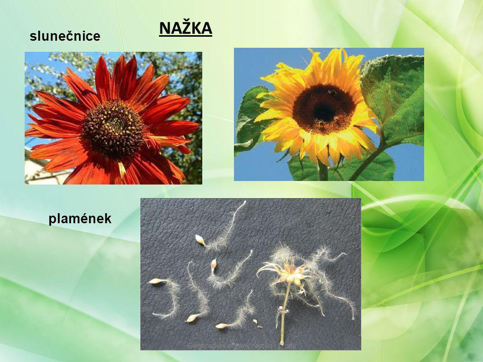 NAŽKA slunečnice plamének Generativní orgány rostlin - plody