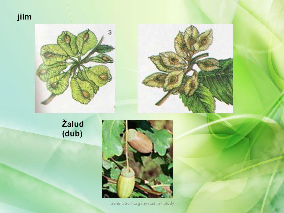 Žalud (dub) jilm Generativní orgány rostlin - plody